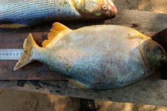 pma-apreende-413-kg-de-pescado-ilegal-e-aplica-r-24-mil-em-multas-no-ms-8