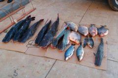 pma-apreende-51-kg-de-pescado-e-autua-infrator-por-transporte-ilegal-em-ms