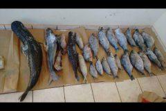 pma-apreende-60-kg-de-pescado-ilegal-e-autua-infrator-em-r-4-mil-no-ms