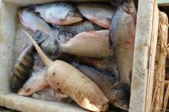 PMA apreende cerca de 200 kg de pescado armazenados de forma ilegal no Tocantins 2