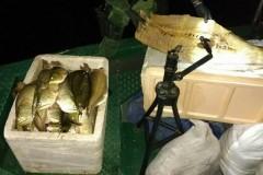 PMA apreende embarcacao com 380 kg de pescado ilegal no Amazonas 4