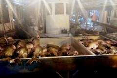 PMA apreende mais de duas toneladas de tambaqui ilegal em Manaus-AM