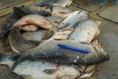 PMA apreende redes e 34 kg de pescado ilegal no Rio Imbituvao-PR 2