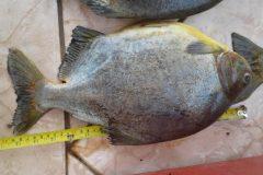 PMA apreende tres pessoas e 45 kg de pescado ilegal abaixo da medida em MS