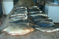PMA desmonta acampamento ilegal e apreende pescado e apetrechos ilegais no MS