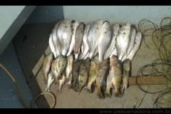 PMA flagra pesca ilegal e apreende redes e pescado no Rio Aracatuba-SP