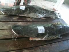 PMA multa mulher por armazenar pescado ilegal no MS
