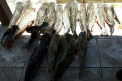 PMA prende 10 pessoas e apreende 498 kg de pescados durante operacao Carnaval no MS 3