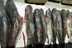 PMA prende 10 pessoas e apreende 498 kg de pescados durante operacao Carnaval no MS 4