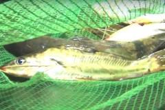 PMA prende 9 por pesca ilegal em area de preservacao em Uberlandia-MG 3