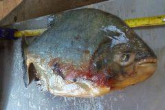 pma-prende-infrator-transportando-pescado-ilegal-em-ms-2