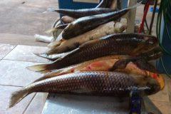 pma-prende-infrator-transportando-pescado-ilegal-em-ms