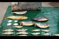PMA prende mulher por transportar 19 kg de pescado ilegal em MS