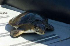 PMA resgata tartarugas presas em redes ilegais em Baraquecaba litoral Norte de SP 3