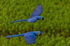 pantanal-arara-azul