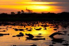 pantanal-jacares