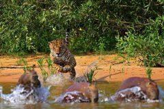 pantanal-onca-pintada