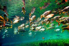 pantanal-peixes