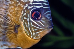 Peixe Acara Disco - Amazonia 2