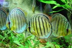 Peixe Acara Disco - Amazonia