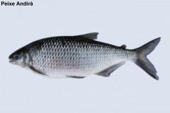Peixe Andira