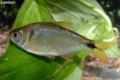 Peixe Lambari