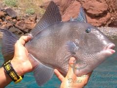 Peixe Peroa - Peixe de agua salgada