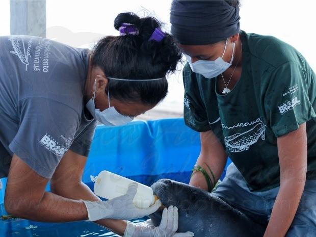 Peixe boi e resgatado de rede de pesca no Amazonas