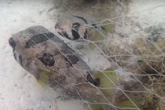 Peixe nao abandona companheiro que ficou preso em rede de pesca