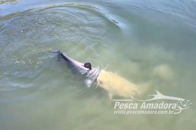 peixe-tenta-engolir-outro-semelhante-ainda-vivo-em-lago-nos-estados-unidos