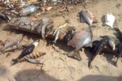 Peixes aparecem mortos proximo a Hidreletrica no Rio Araguari no Amapa 3