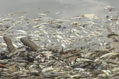 Peixes aparecem mortos proximo a Hidreletrica no Rio Araguari no Amapa 7