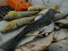 Peixes apreendidos pela PA do Rio Grande do Sul