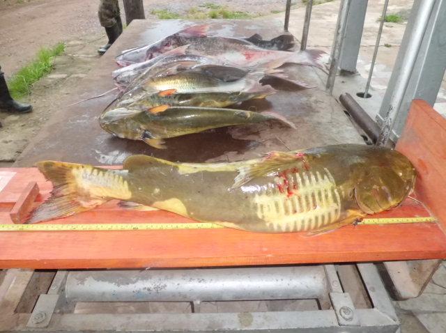 Peixes apreendidos pela PMA em Porto Murtinho MS