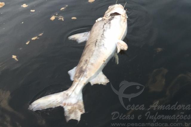 Peixes continuam morrendo na Usina Teles Pires 2