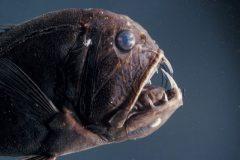 Peixes do abissal 12