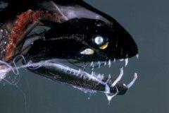 Peixes do abissal 14