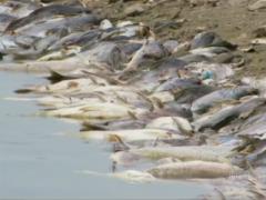 Peixes mortos pelo calor no Rio Tietê em SP (Foto: Reprodução Jornal Nacional)