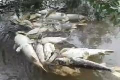 Peixes mortos pelo vertedouro de usina hidreletrica no Rio Grande em Orindiuva-SP