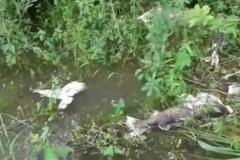 Peixes mortos pelo vertedouro de usina hidreletrica no Rio Grande em Orindiuva-SP 3