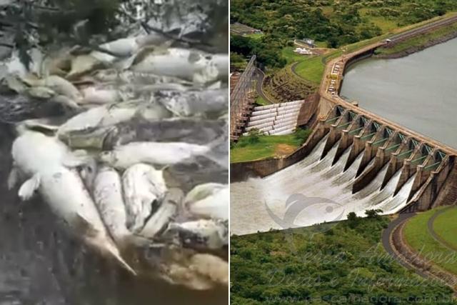 Peixes mortos pelo vertedouro de usina hidreletrica no Rio Grande em Orindiuva-SP capa