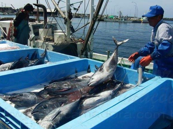 Pesca de-atum rabilho