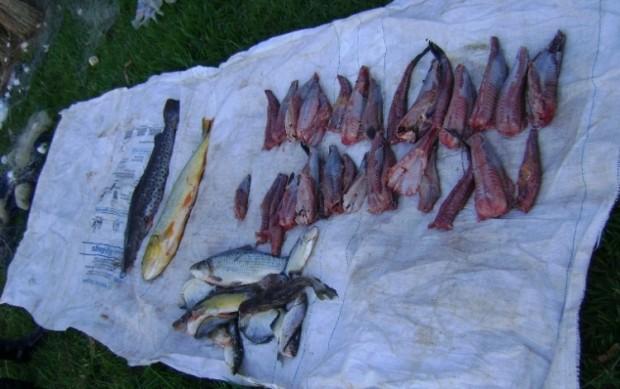 Pescado apreendido no rio Ivinhema-MS