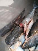 Pescado apreendido pela PMA em Anastacio-MS