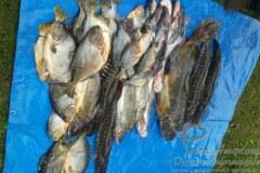 Pescado apreendido pela Sema no MS