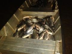 Pescado apreendido pelo IAP no Parana
