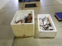 Pescado apreendidos em Rosana-SP