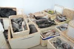 Pescado ilegal apreendido no combate a pesca predatoria nos rios de Goias