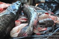 Pescado irregular apreendido em Santo Antonio do Laveger-MT