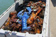 Pescador encontra rarissima lagosta azul nos Estados unidos 2